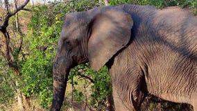 Elephant throwing sand on itself stock video