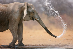 Elephant throwing water. Little elephant spraying water; Loxodinta Africana; Etosha Stock Photography