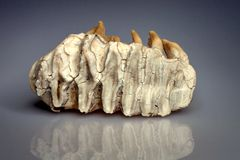 Elephant tooth Stock Photo