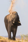 Elephant tossing sand on back Royalty Free Stock Images