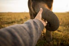 Elephant touching my hand. On field,sunrise background,Thailand Stock Photo