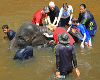 Elephant and tourists in National Conservation Centre Kuala Gandah. Kuala Gandah, Malaysia - April 6, 2015: tourists are bathing elephant in the river in Royalty Free Stock Photography
