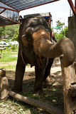 Elephant training in the camp Royalty Free Stock Photos
