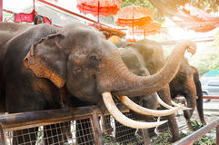 Elephant. For travel ride in Thailand Royalty Free Stock Images