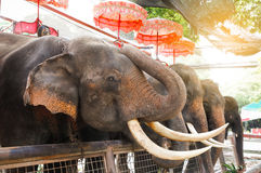 Elephant. For travel ride in Thailand Stock Image