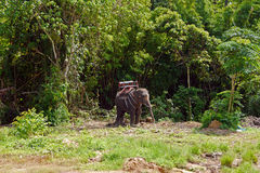 Elephant trecking, THAILAND. Royalty Free Stock Photography