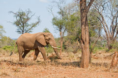 Elephant and tree. Large bull elephant in Kruger National Park, South Africa searching for food Stock Image