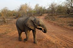 Elephant with a tree in his mouth walking. In the savanna - south africa Stock Image