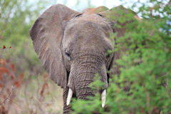 Elephant among trees royalty free stock photo