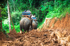 Elephant Trekking Through Jungle in Northern Thailand. Asia Royalty Free Stock Photography