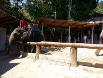 Elephant Trekking, Phuket Thailand Royalty Free Stock Photography