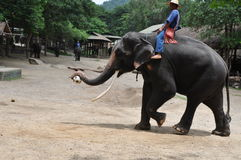 Elephant trekking in thailand. Elephant trekking  is a very unique tourism project in thailand .an elephant playing football Stock Image