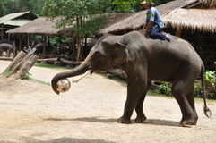 Elephant trekking in thailand. Elephant trekking  is a very unique tourism project in thailand .an elephant playing football Stock Photos