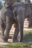 Elephant trekking tour Stock Photos