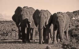 Elephant trio walking towards camera Stock Photo