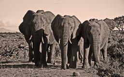 Elephant trio walking towards camera Stock Photo