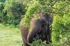 Elephant in tropical forest Royalty Free Stock Images