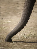 Elephant trunk. A pictue of an Elephants trunk Stock Image