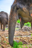 Elephant trunk Stock Photography