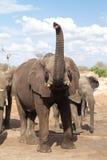 Elephant trunk Royalty Free Stock Image