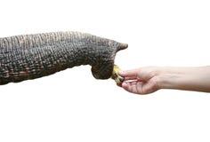 Elephant trunk Stock Photos
