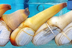 Elephant trunk clam. On a seafood market in Hong Kong Stock Image