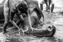 Kodanad Elephant Sanctuary - elephant bathing in progress with keepers deep cleaning the trunk - black and white. An elephant trunk clean! The elephants have a royalty free stock image