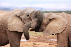 Elephant trunk covering elephant eye. These two elephants were having a little sparring competition Stock Photos