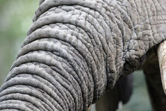Elephant trunk detail Royalty Free Stock Images