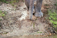 Elephant trunk and feet near the water Stock Photo