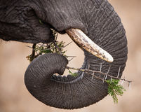 Elephant trunk and ivory tusks Royalty Free Stock Photography