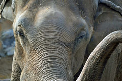 Elephant Trunk. Elephant in a local zoo royalty free stock photo
