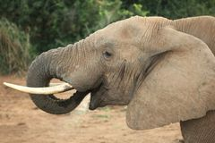 Elephant with Trunk in Mouth Royalty Free Stock Photos