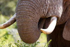 Elephant trunk and tusk close up Stock Photography