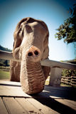 Elephant Trunk. In wildlife Sanctuary, Chiang Mai, Thailand stock photos