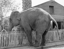 Elephant trying to cross over a picket fence. (All persons depicted are no longer living and no estate exists. Supplier grants that there will be no model Royalty Free Stock Photos