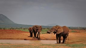Drinking Elephants in Tsavo East royalty free stock images
