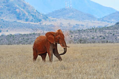 Elephant in Tsavo park Royalty Free Stock Images