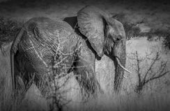 Elephant in tsavo west national park. Kenya east Africa. Loan elephant walking in Tsavo national park. spotted whilst on safari. Black And White stock photo