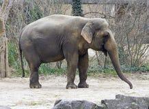 Elephant tusk ear  trunk safari Africa Stock Photography