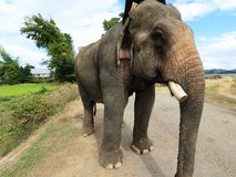 Elephant with tusk sawed off. Elephant with one of its tusks sawed off while the other is missing serves tourist at DakLak Vietnam Stock Photo
