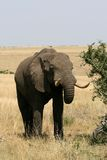 Elephant. Tusk, thick, skin and strong Royalty Free Stock Photos