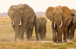 Elephant. Tusk, thick, skin and strong Stock Images