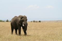 Elephant. Tusk, thick, skin and strong Stock Photo