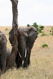 Elephant. Tusk, thick, skin and strong Royalty Free Stock Image