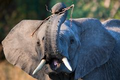 Elephant. Tusk, thick, skin and strong Royalty Free Stock Images
