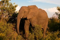 Elephant. Tusk, thick, skin and strong Stock Image