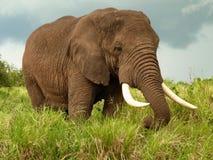 Elephant Royalty Free Stock Photography