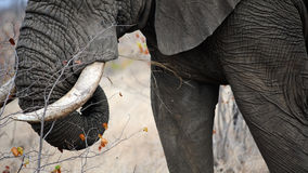 Elephant tusks Stock Photos
