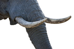 Elephant tusks Stock Image
